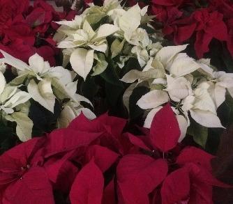Christmas Flowers (Dec. envelope)
