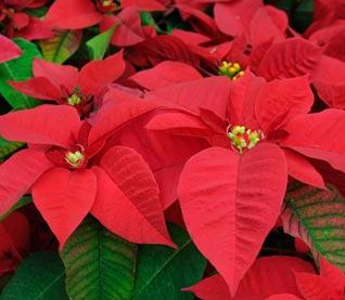 Christmas Flowers - December 6, 2020
