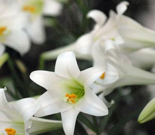 Easter Lilies and Flowers