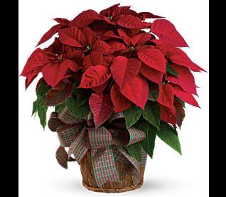 Christmas Flowers (November/December)